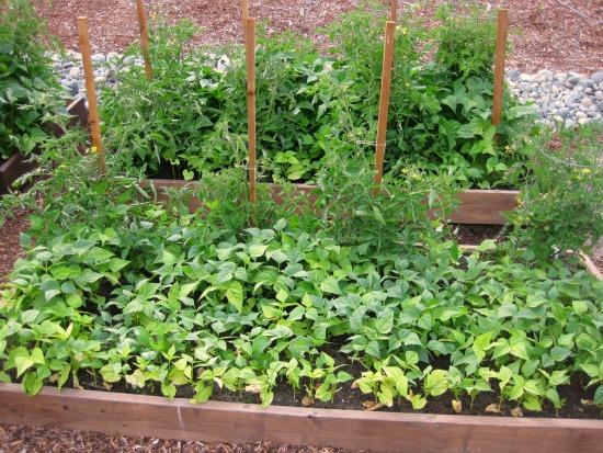 growing a companion garden