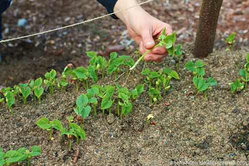 How To Grow Your Own Food Succession Planting Green Beans