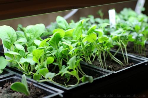 seedlings under grow lights