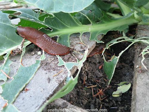 slugs eating cabbage