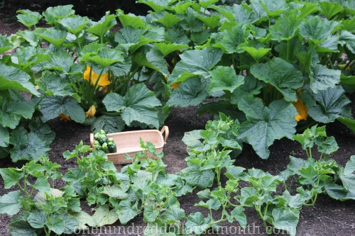 Mavis Garden Blog Help There Are Ants On My Zucchini