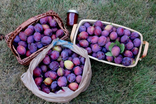 how to glean free plums