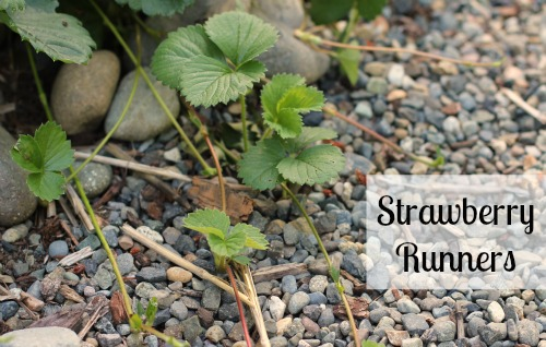 Mavis Garden Blog Planting Strawberry Runners One