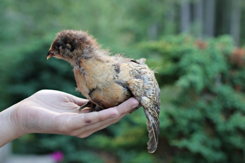 Raising Backyard Chickens Baby Chicks 2 Week Check Up