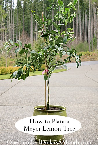 How To Plant A Meyer Lemon Tree In Container One Hundred Dollars Month