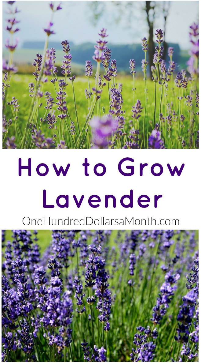 How To Grow Custard Apple: How To Grow Lavender {Start To Finish}
