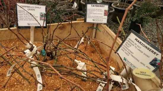 bare root grape vines