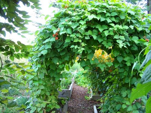 green bean vines