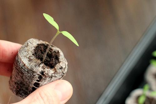 tomato seedling 1 week