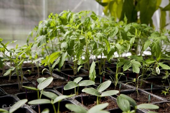 tomato seedlings in greenhouse