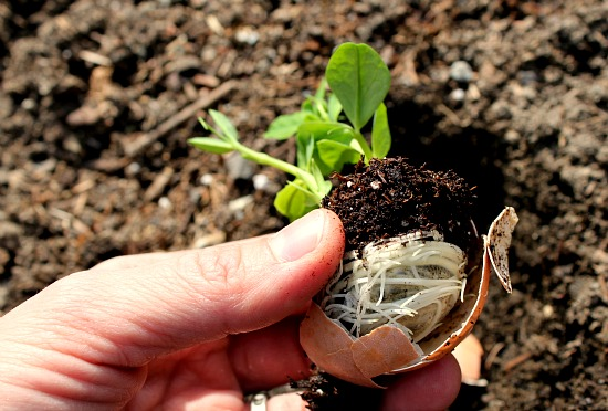 Gardening Projects for Kids - Planting Seeds in Eggshells