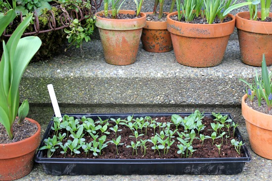 How to Harden Off Seedlings zinnia