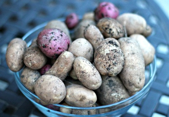 grow-potatoes-in-your-backyard-russet-red