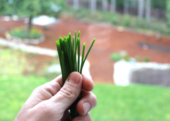 grow your own chives