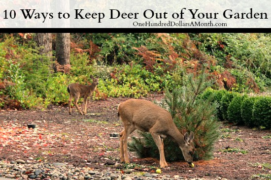 how to keep deer out of your garden stop feeding them one hundred dollars a month