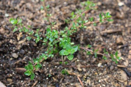 Container Herb Garden thyme