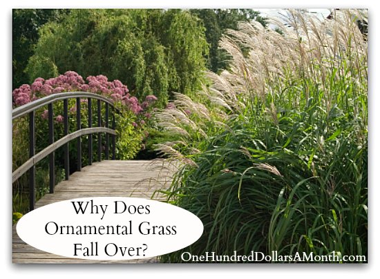 Why does ornamental grass fall over one hundred dollars for Easy to grow ornamental grasses