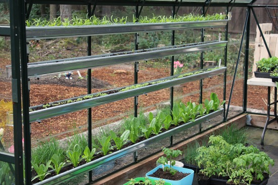 Growing Vegetables In A Greenhouse   Spinach, Lettuce, Swiss Chard,  Strawberries And Tomatoes   One Hundred Dollars A Month