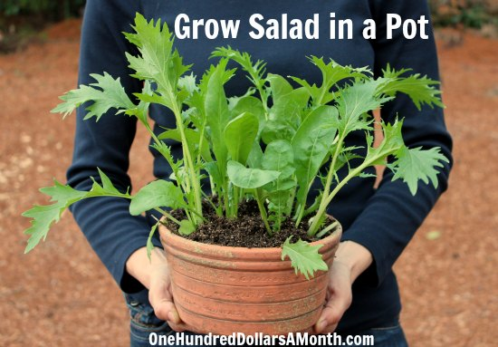 Container Gardening Idea - Grow Salad in a Pot