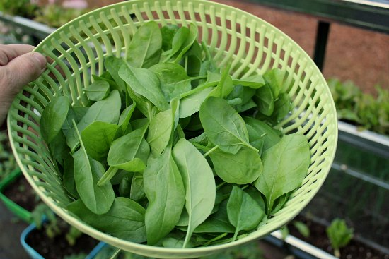 fresh organic spinach