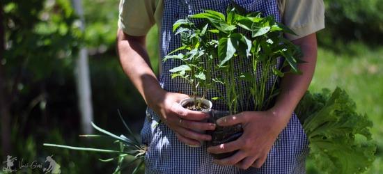 man holding pepper plants