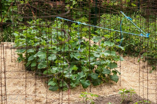 pickling cucumbers grown in cages