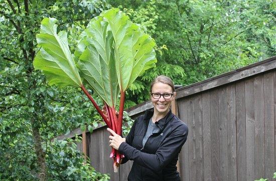 how to harvest rhubarb mavis