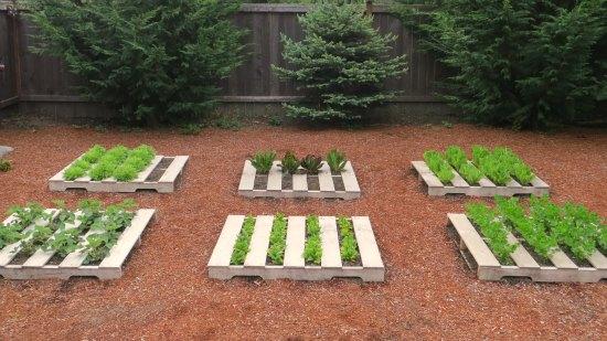 Mavis butterfield backyard garden plot pictures week for What to grow in a pallet garden