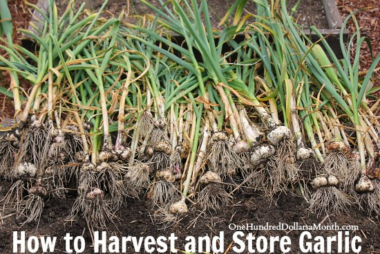 how to harvest and store garlic one hundred dollars a month. Black Bedroom Furniture Sets. Home Design Ideas