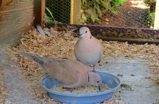 caged doves