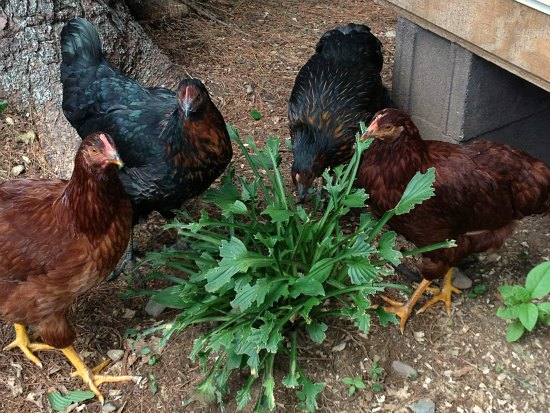 chickens eating plants