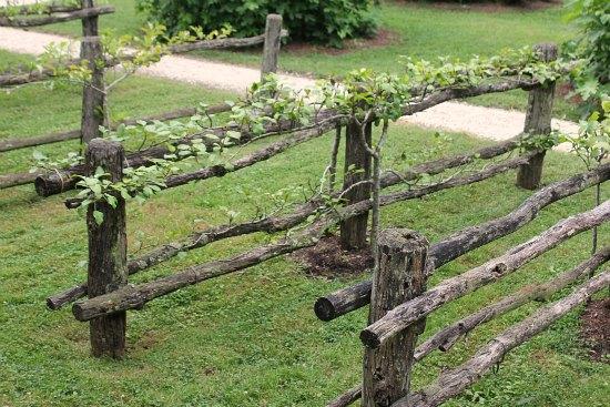 espalier trees on fence