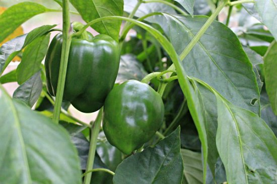 grow-green-peppers-in-a-greenhouse