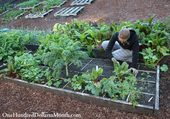 Square Foot Gardening Is Easy One Hundred Dollars A Month