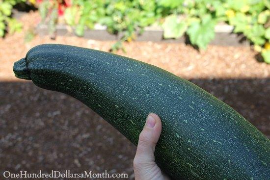 big zucchini