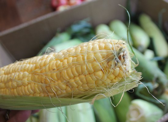 corn with mold