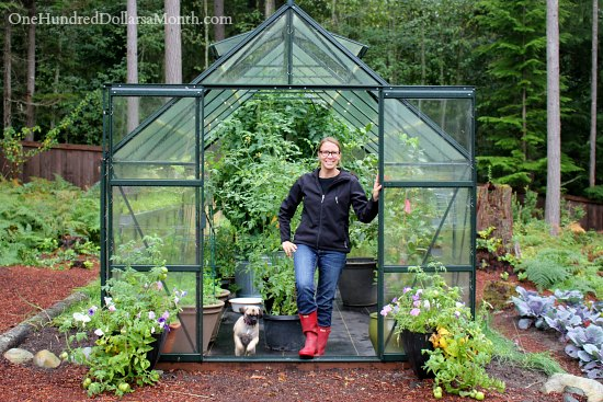 Growing Vegetables In A Greenhouse   Harvesting Tomatoes   One Hundred  Dollars A Month