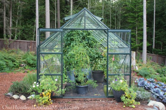 Growing Vegetables In A Greenhouse   Lettuce, Peas, Lemons And Tomatoes    One Hundred Dollars A Month