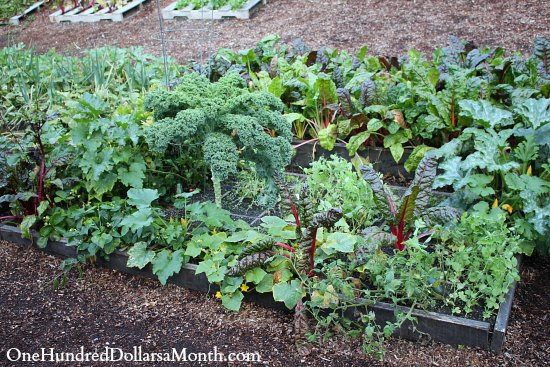 square foot gardening giant zucchini alert one hundred dollars a month