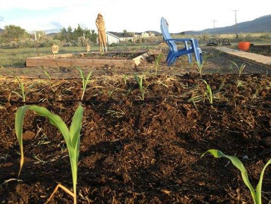 corn garden bed