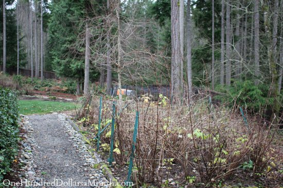 raspberry canes winter