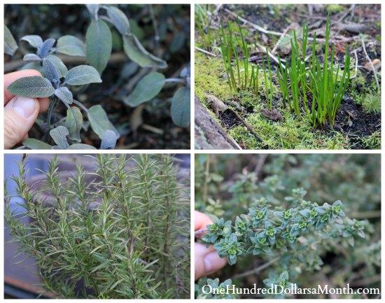 winter herbs herb garden