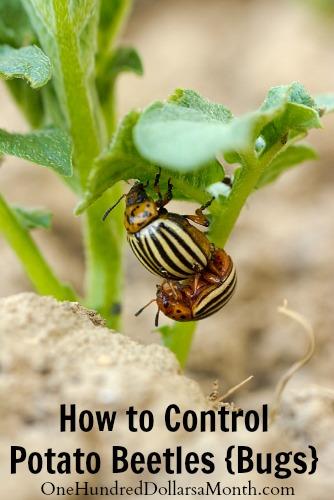 How to Control Potato Beetles {Bugs}