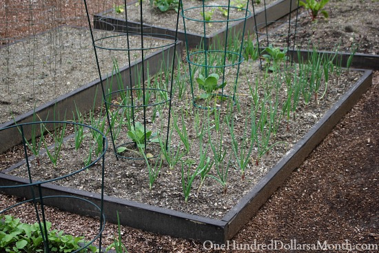 growing onions in raised beds