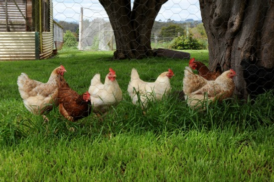 What are the Best Chicken Breeds for Backyards? - One ...