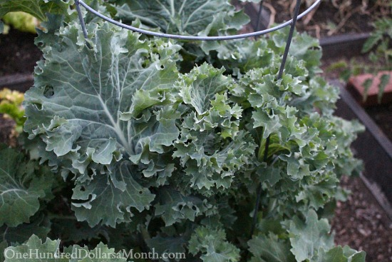 growing kale in cages