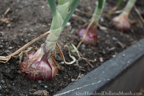 growing red onions in containers