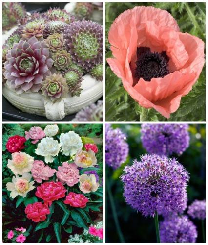 succulents poppies and allium plants