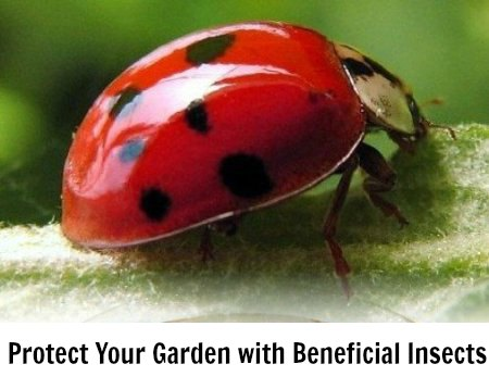 where-can-i-buy-ladybugs1