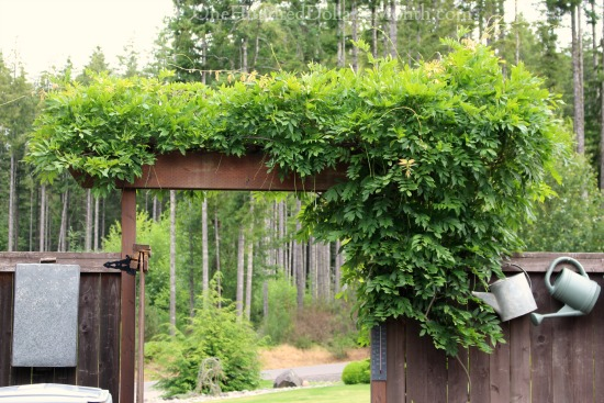 wisteria growing over an arbor